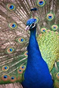 Proud peacock.